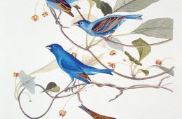 Illustration of indigo bunting