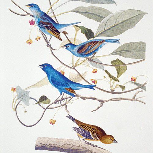 Illustration of indigo bunting