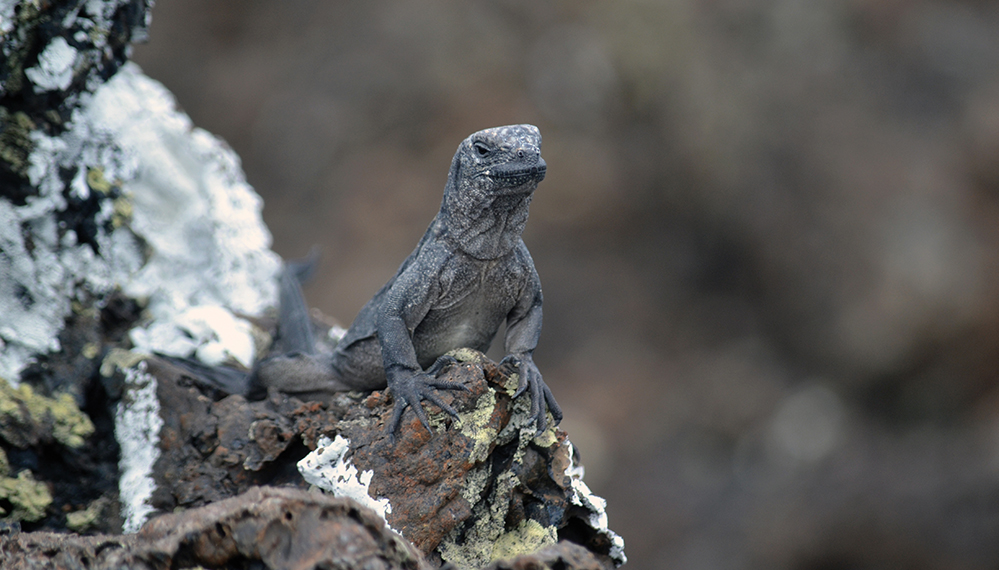 an iguana on a rock in the Galapagos