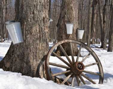 Maple trees with buckets attached for tapping syrup