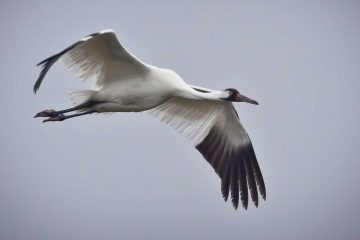 Crane soars through grey sky.