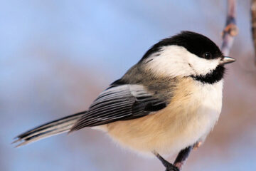 Black-capped Chickadee on tree limb