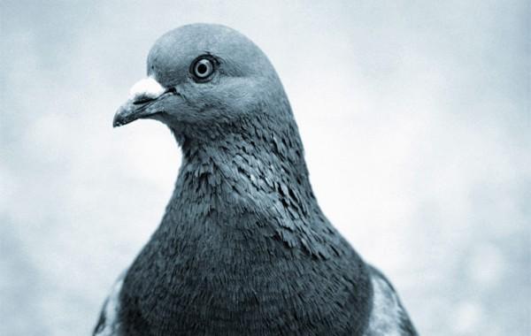 Pigeons process
