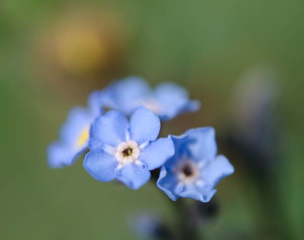 Alaskan Forget Me Not