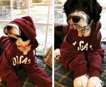 Two dogs dressed in Colgate sweatshirts.