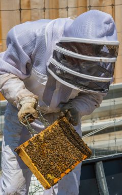 Ian Helfant, associate professor of Russian and Eurasian studies and environmental studies, transfers honeybees from a nucleus box to a hive at the Colgate Community Garden in May.