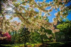 Spring blossoms and blue sky in front of Colgate's Andrews Hall