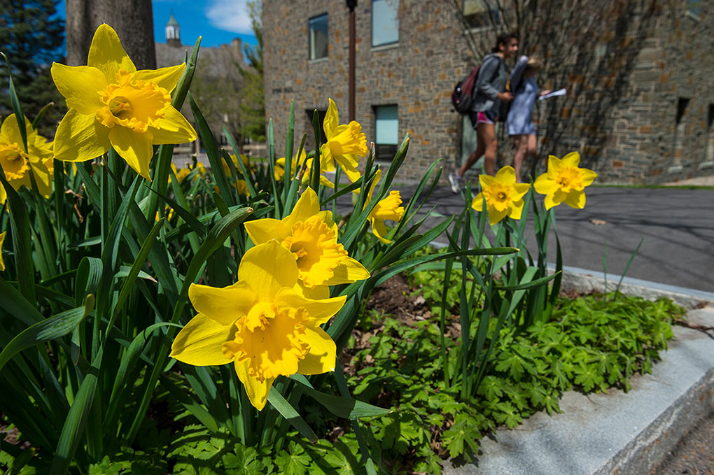 Bright yellow daffodils on campus