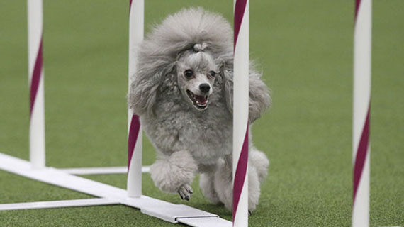 Barbara Hoopes's dog Tommy takes part in the agility competition at Westminster. (Photo courtesy of Associated Press)