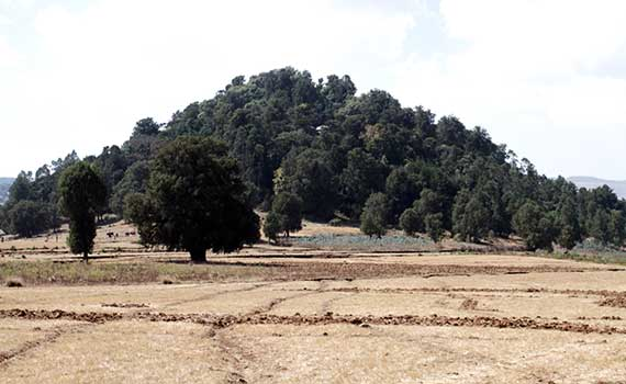 A sacred forest rises from farmland in Ethiopia