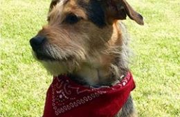 Dog wearing a red bandana