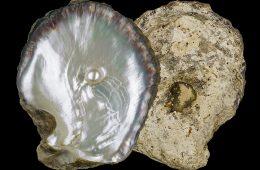 Pinctada margaritifera, pearl oyster