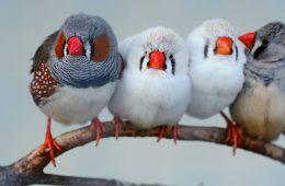 zebrafinches