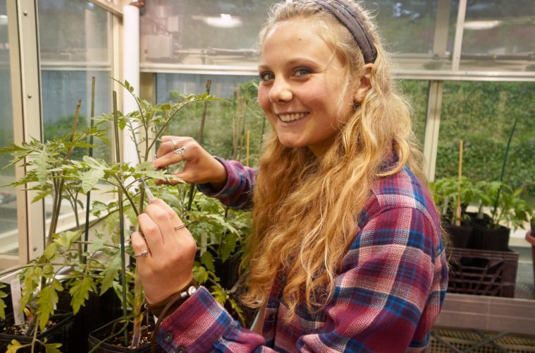 Christine Horn '19 works with a tomato plant in the Colgate University greenhouse