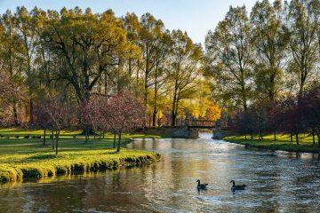 Geese swim in Payne Creek